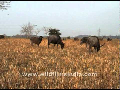 Herd of wild buffalos grazing in a field of Assam