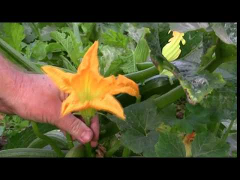 Vegetable Gardening: Growing Zucchini / Courgette: How to Grow
