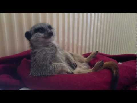 Soori the meerkat nodding off!