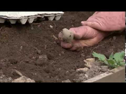 Vorgekeimte Kartoffeln Legen