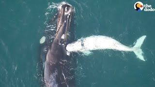 Mother Whale Swims With Her Rare White Baby