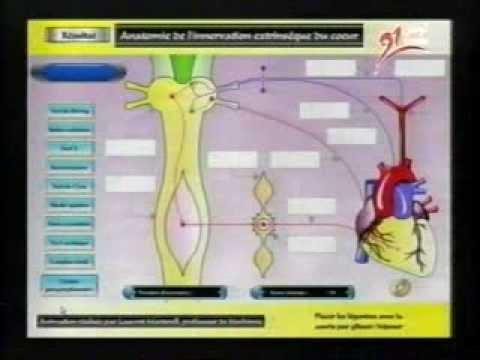 régulation de la pression artérielle - YouTube