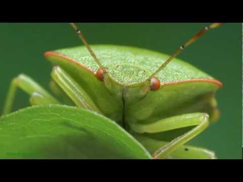 Odorek zieleniak - Palomena prasina Green shield bug