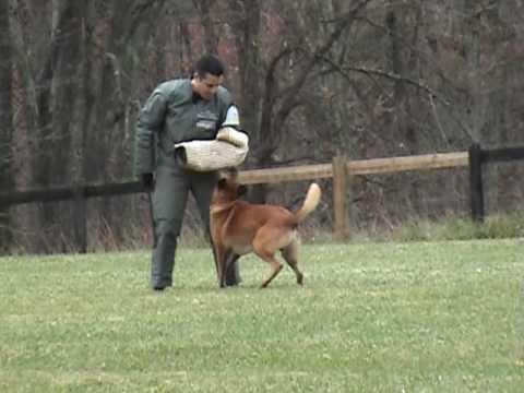 Schutzhund Trial Work - Back Half - Wyatt Earp de mon Coeur