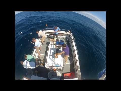 Blue shark fishing in cornwall