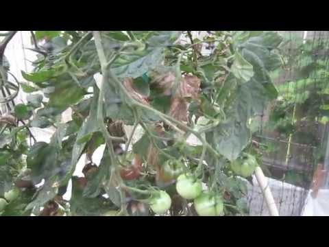 Mittleider Garden Update: June 18. 2013