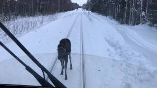 Crazy moose charging a train