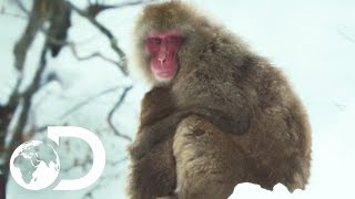 Troupes Of Japanese Macaques Use Hot Springs To Keep Warm | Wildest Islands: Japan