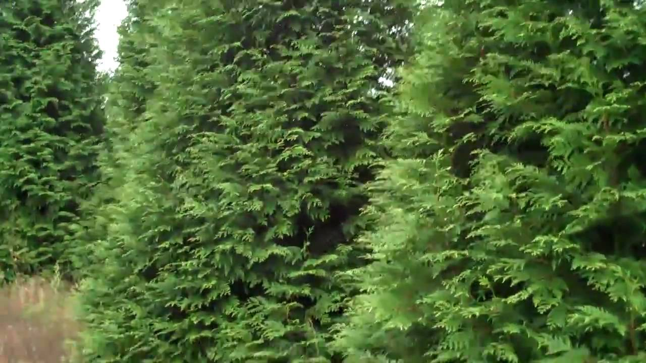 Landscaping Ideas For Cedar Trees : Cedar trees ready to plant w chris orser landscaping