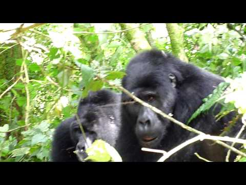 Mountain Gorillas in Uganda's Bwindi Impenetrable National Park