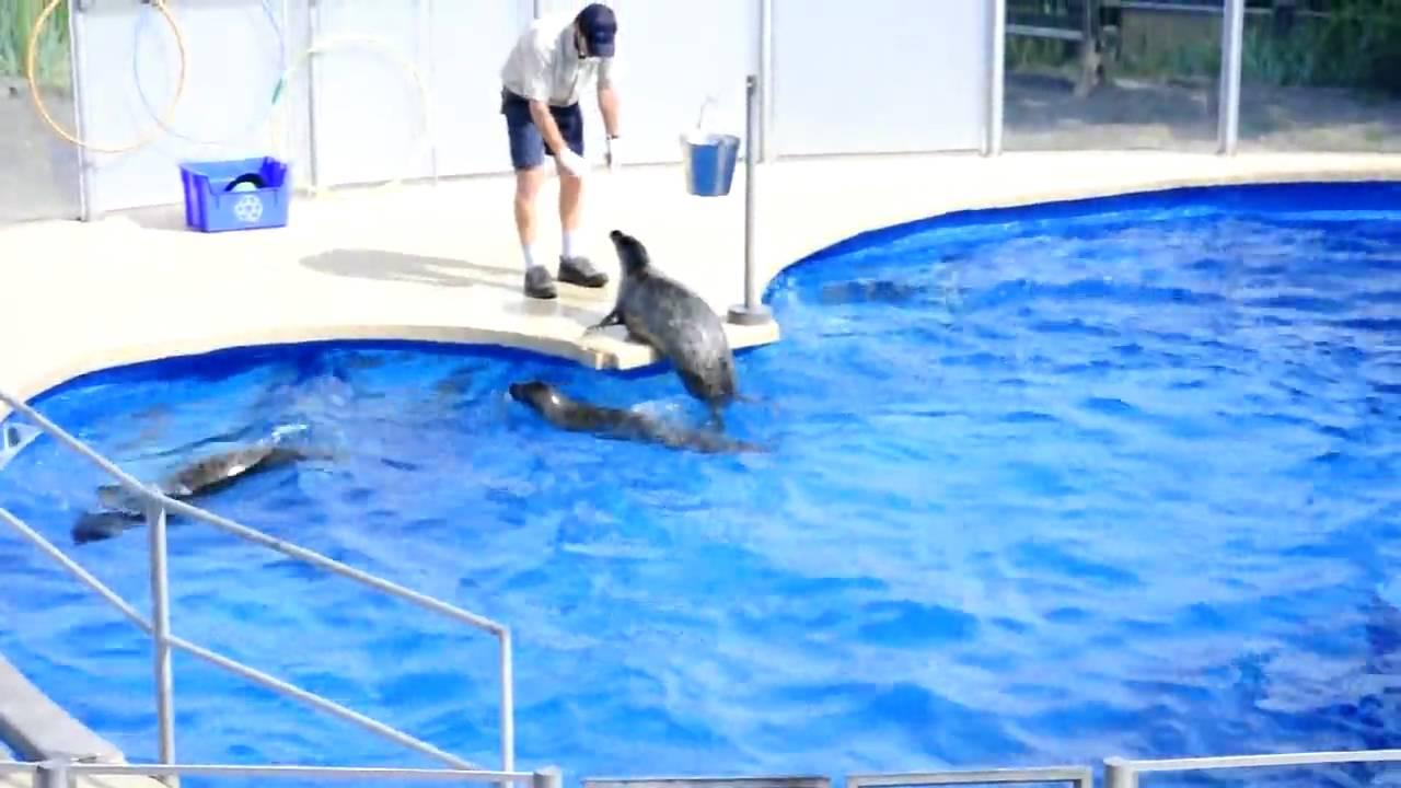 phoque 224 l aquarium de qu 233 bec seal at aquarium part 1