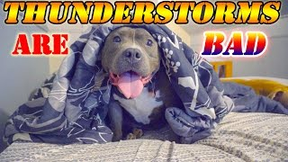 Big Pit Bull is scared of Thunderstorms ✔