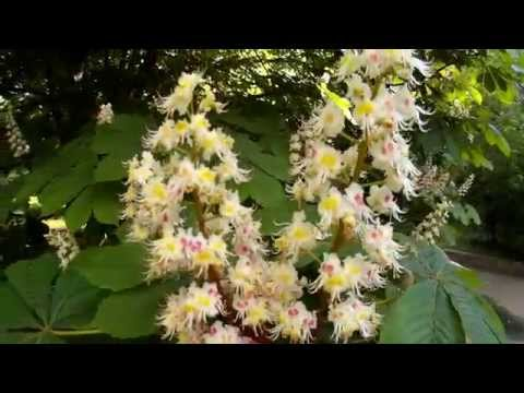 Цветущий каштан. Каштан - прекрасное, сильное и высокорослое дерево