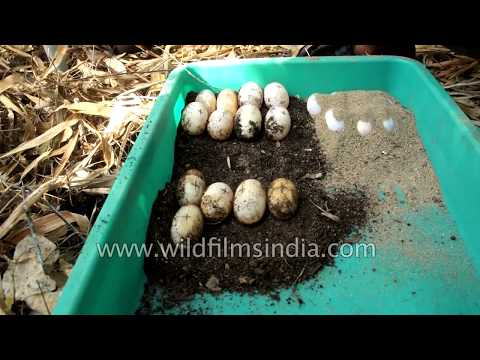 Turtle eggs being gathered for captive hatching