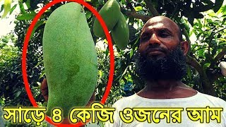 মাগুরার চাষি ফলালেন সাড়ে ৪ কেজি ওজনের আম, জাতের নাম ব্রুনাই কিং  Latest News Bangla