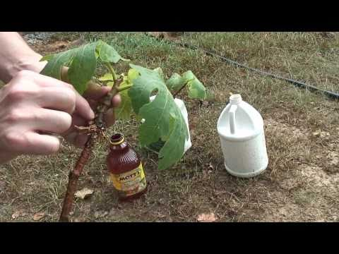 Fig Tree Propagation - Part 1