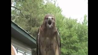 Badass Hawk Scream