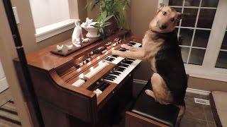 """""""පියානෝ ගහන බල්ලෙක් මේ ඉන්නේ """"Rescue dog turns on piano and plays it"""