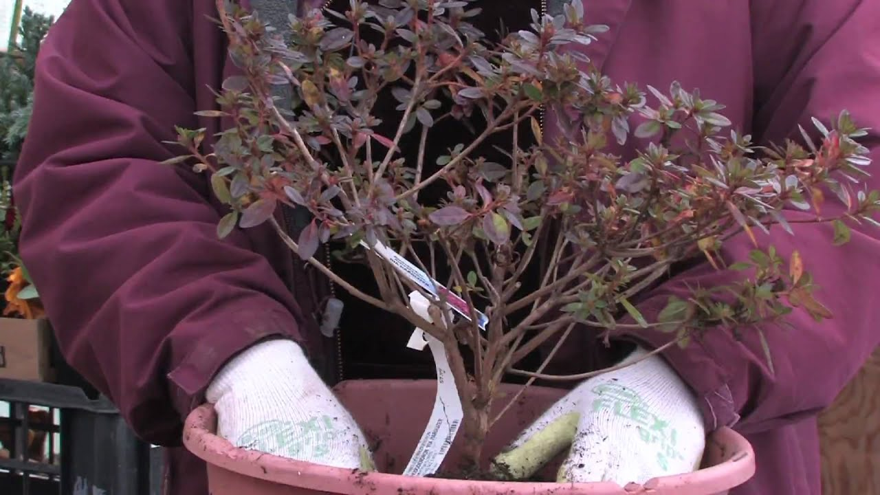 Gardening tips how to plant azaleas youtube - Like that garten ...