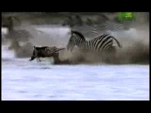 Killer Clips- Lion Attacks Zebra video