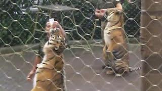 download lagu Tiger Show - Taman Safari,  Cisarua, Bogor, Indonesia gratis