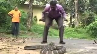 Whatsapp Funny Video | King Cobra Live Catch 2015