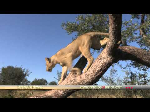 Lions morning walk HD at Tshukudu Hoedspruit - South Africa Travel Channel 24 - Wildlife