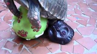 Video- Turtle Gets His Nut Off On A Sex Toy! (Rolled Over & Went To Sleep).flv