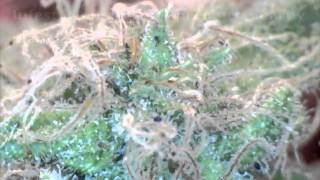 Cannabis Spider Mites Infestation
