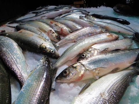 Ice fishing herring and coho salmon on lake superior for Lake superior salmon fishing
