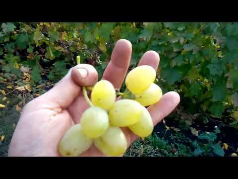 МОя  лучшая десятка винограда 2017