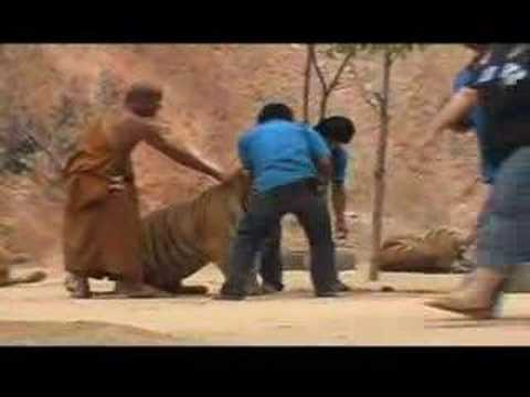 Tiger Temple/ Animal Cruelty, Moving with Force- 2