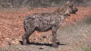 Okutala Animal Facts - Spotted Hyena