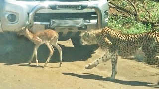 Baby Impala Tries Using Car To Hide From Cheetahs