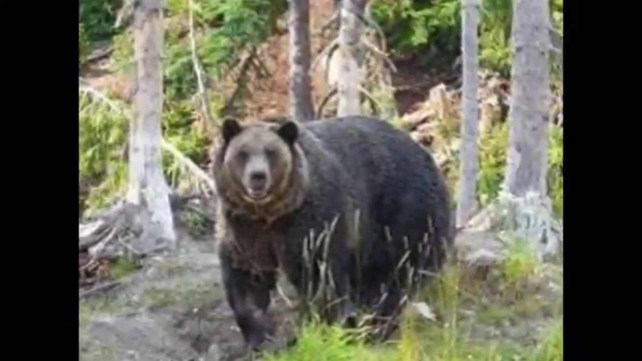 Image Result For Polar Bear Vs Grizzly Bear