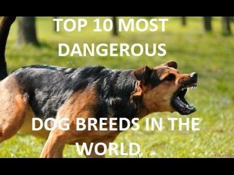 Top Ten Dangerous Dog Breeds