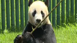 Pandas veranean en China