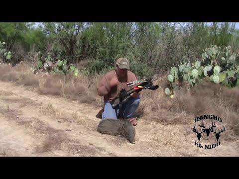 Jabali Cazado Con Ballesta Por Ruben RANCHO EL NIDO