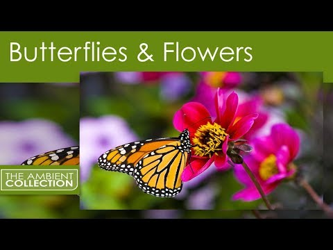 BUTTERFLIES AND FLOWERS DVD - Relaxation with orchids and garden flowers
