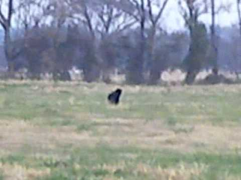 Big Black Cats In Oklahoma