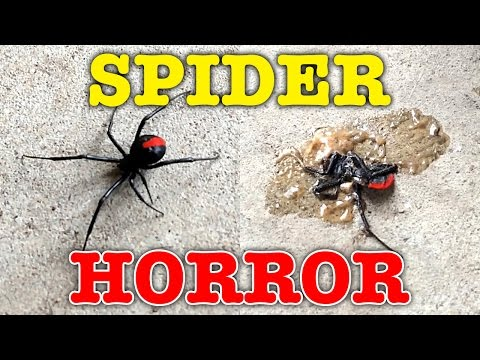 Giant Redback Spider Psycho Killer Dead Or Alive Halloween Special