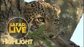Kuchava the Leopard Hunts & Kills a Warthog Piglet
