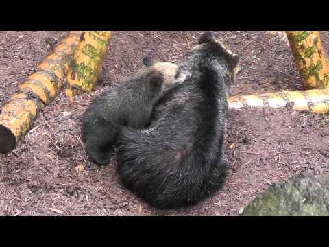 2011年7月17日 旭山動物園 エゾヒグマ1