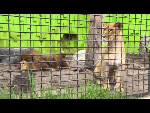 2011年5月22日 釧路市動物園 ライオン1