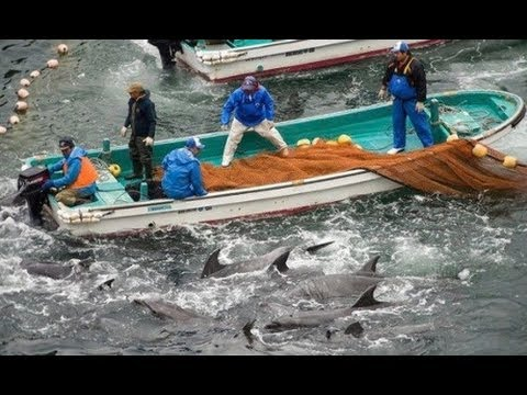Japanese fishermen begin annual slaughter of hundreds of dolphins   Environment