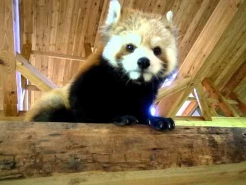 レッサーパンダ 茶臼山動物園 Ailurus fulgen