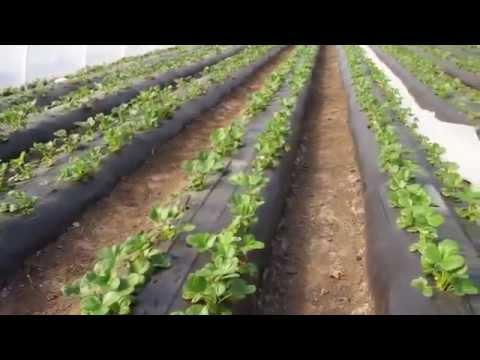 Клубника клери выращивание в теплице 41
