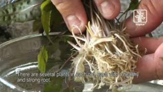 Tips and tricks for handling plants in the aquarium, Tropica Aquarium Plants
