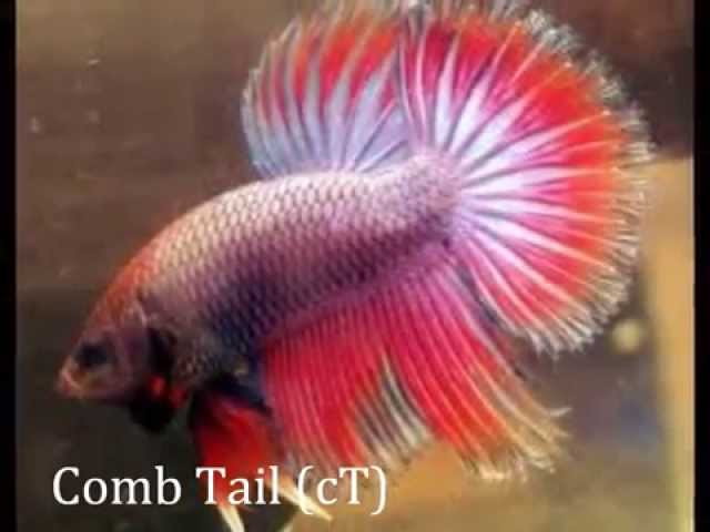 Betta Tail Types and Patterns