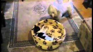 Cat And Dog Fight For A Bed - Funny Videos at Videobash.mp4